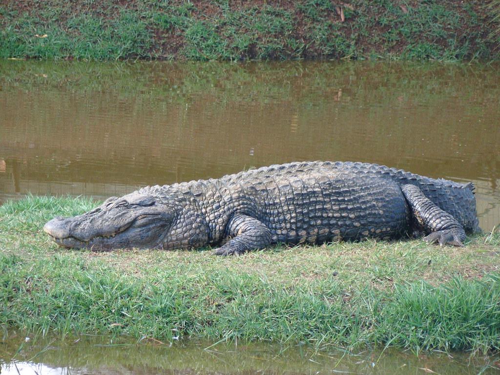"Black caiman ""Melanosuchus niger"" Jacaré-Açu | Zoo ..."
