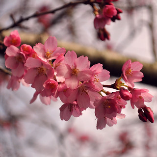 February blossoms | by DeniseJC