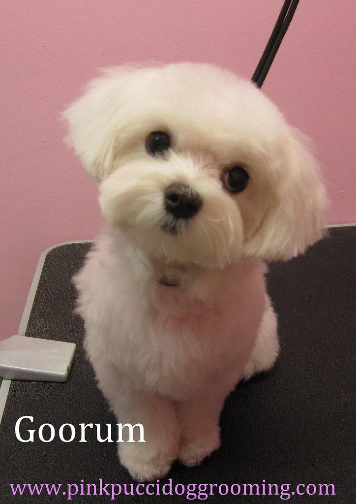 Goorum Maltese Japanese Style Dog Grooming In Torrance Www Flickr