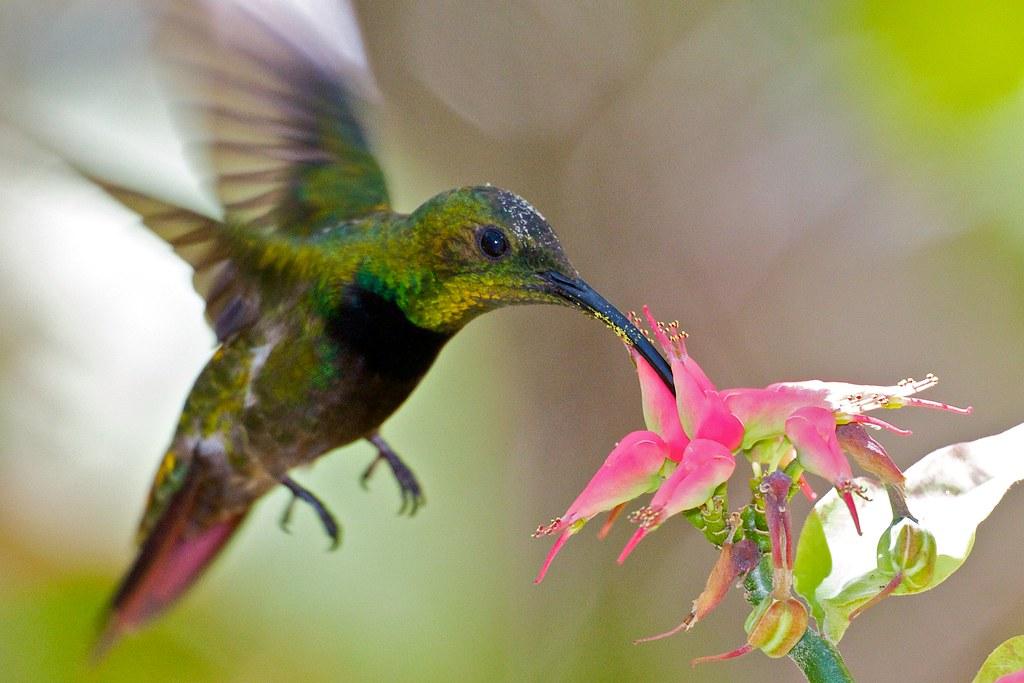 Antillean Hummingbird-Zumbador Dorado-Guanica Dry Forest ...