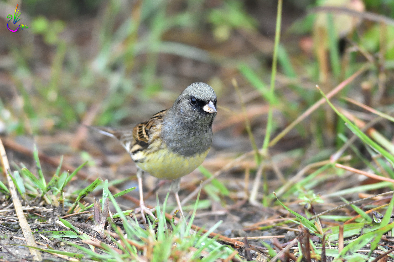 Black-faced_Bunting_7547