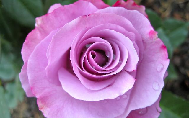 Сорт роз Диорессенс, фото фотография цветы