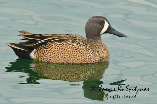 Blue-winged Teal [Duck] (male, breeding) - Anas discors ... - photo#46
