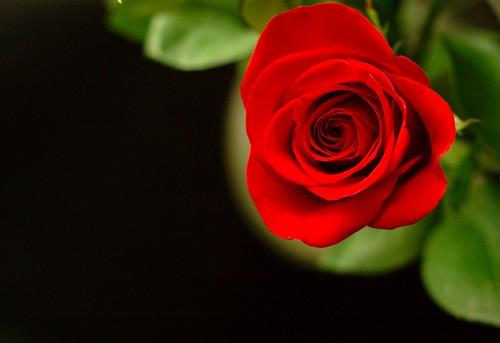 Single Rose on black |...