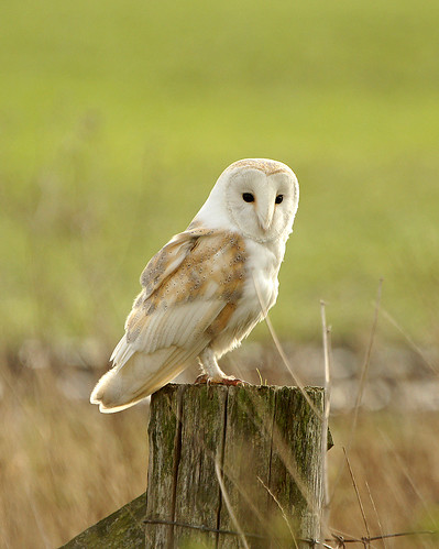 Barn Owl 2 | by mikasuncle