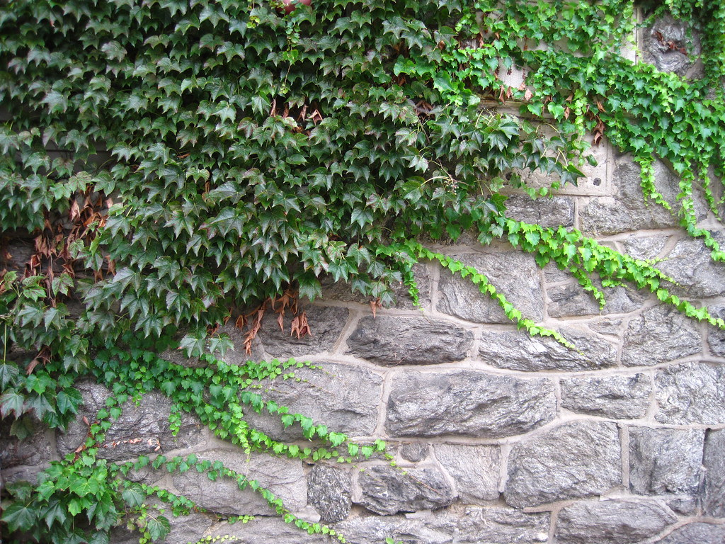 Image result for picture of ivy growing on stone wall