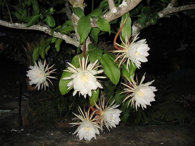 Epiphyllum oxypetalum ...