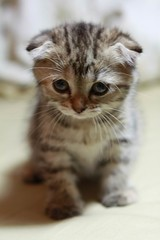 (Doramon (多拉ㄟ夢) Cat-Scottish Fold(蘇格蘭摺耳貓) | by Ultima_Bruce