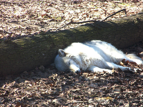 Grey Wolf Catching a Nap | by Potter Park Zoo