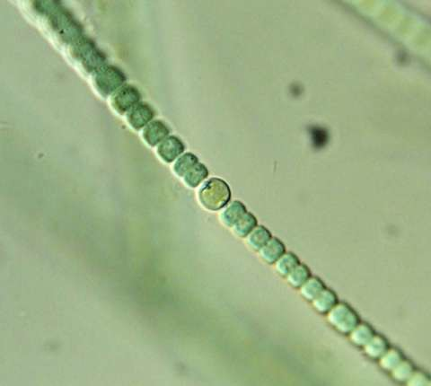 what is the relationship between azolla and anabaena