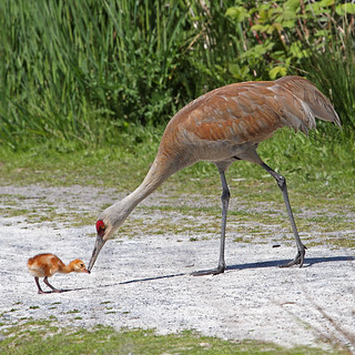 Baby Sandhill Crane | by Peggy Collins