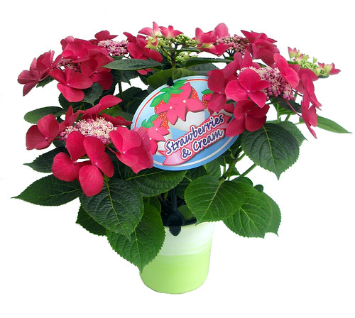 Strawberries And Cream Hydrangea Strawberries Amp Cream Gift