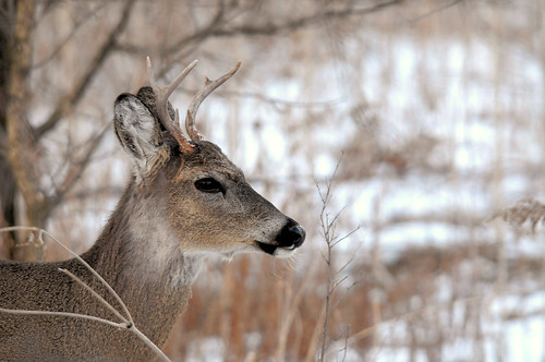 2010 White-tail Deer In Winter 53 | by DrLensCap