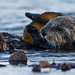 5 of 9 Sea Otter (Enhydra lutris), female, marine mammal, with her baby pup