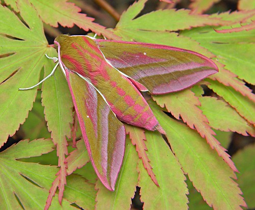 Elephant Hawk-moth NFY 15.5.11 | by Angle Shades