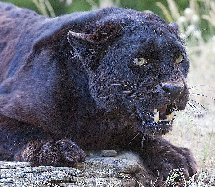 African Black Leopard Is mad | This blask rather than ... - photo#8