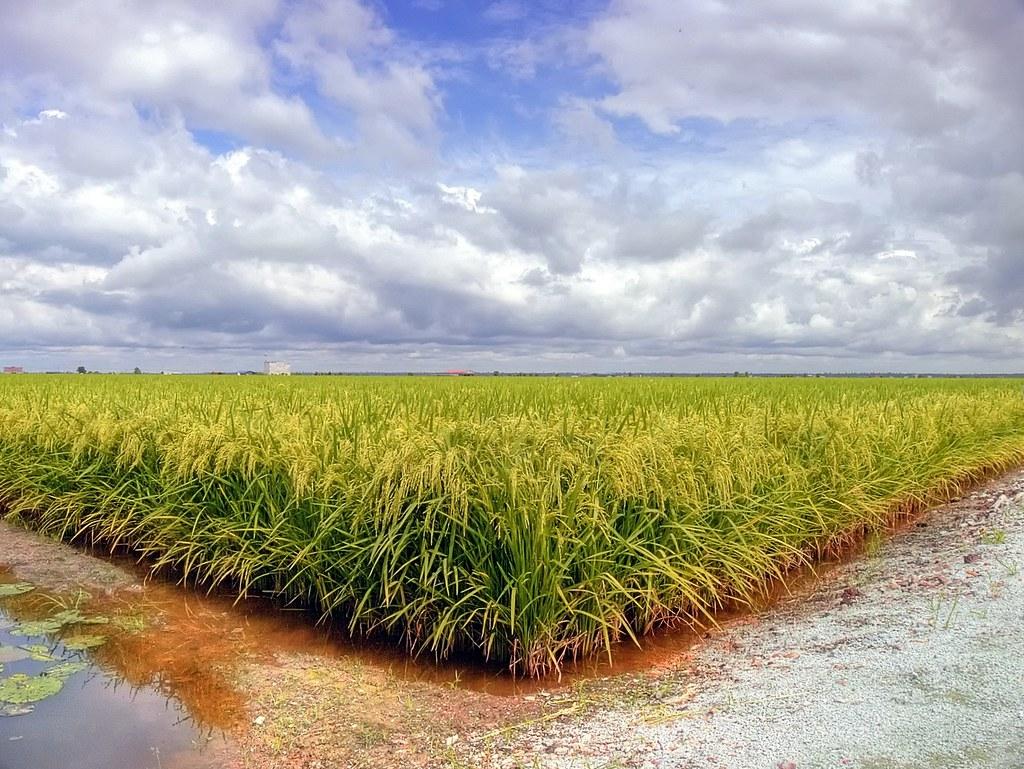 Sawah padi (rice field) | View on Black ... marsh/stream ...