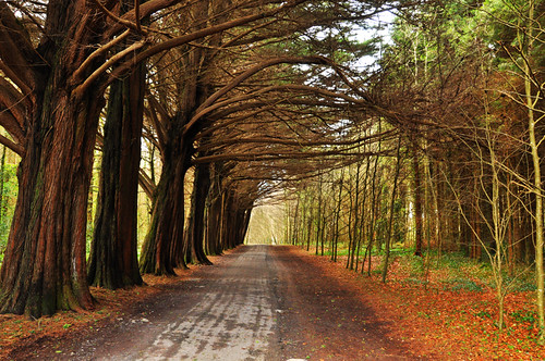 Coole Park walkway | by Robert Riddell