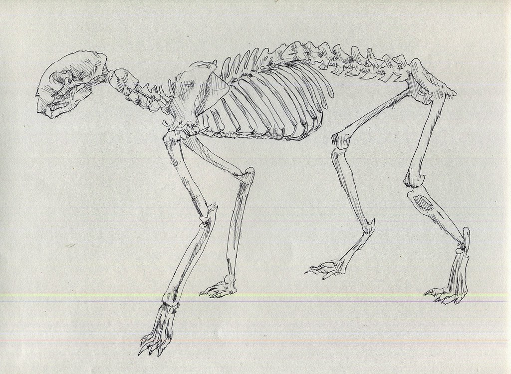 Cat Skeleton Drawing Big Cat Skeleton