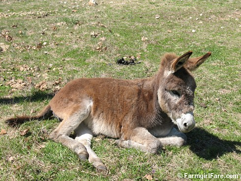 The Daily Donkey 95 - Young Esmeralda Sitting Pretty | by Farmgirl Susan