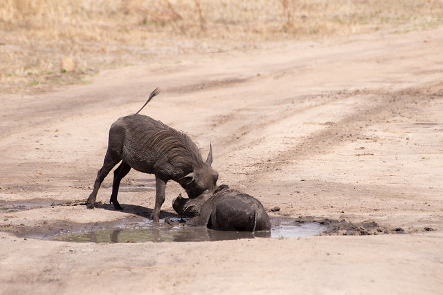 Friendly Warthogs
