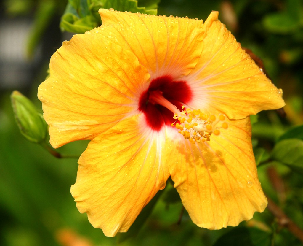 Yellow Hibiscus On Kauai Im Not Much Of A Flower Photogra Flickr