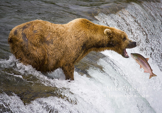 Grizzly bear catching fish at katmai national park alaska for Bear catching fish