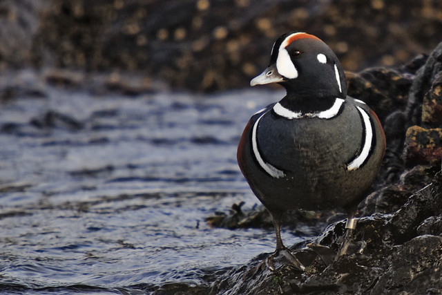 Banded Ducks Report Banded Harlequin Duck | by