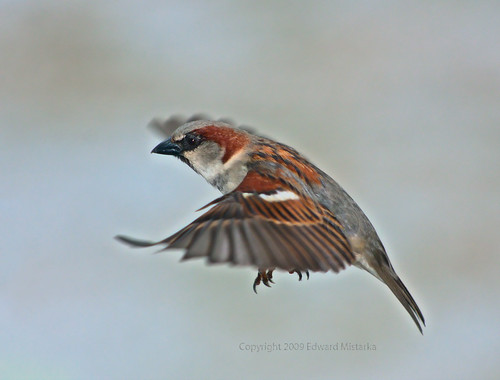 House Sparrow Male Male House Sparrow Flying