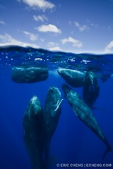 Sperm whale social group (split image) | by echeng
