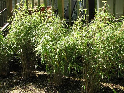 Panda Garden | Sunset Glow Bamboo - Orange red sheaths ...