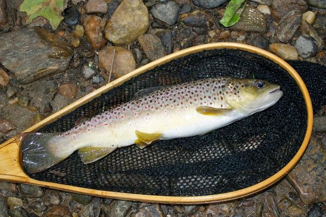 Photo of a brown trout by Michael Eversmier