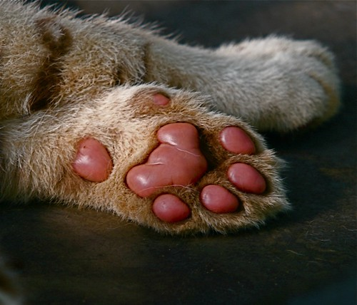 Real tiger paw