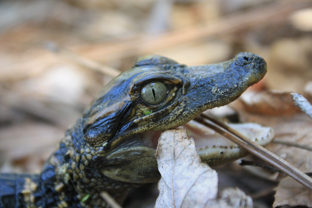 Baby Gator Aww Look At That Face So Cute Randy Farber Flickr