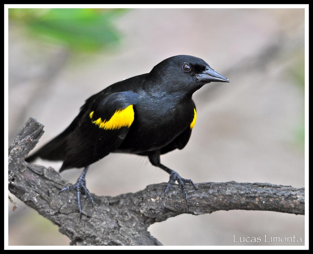 Name Puertorriqueno: Yellow-shouldered Blackbird (Agelaius Xanthomus Xanthomus