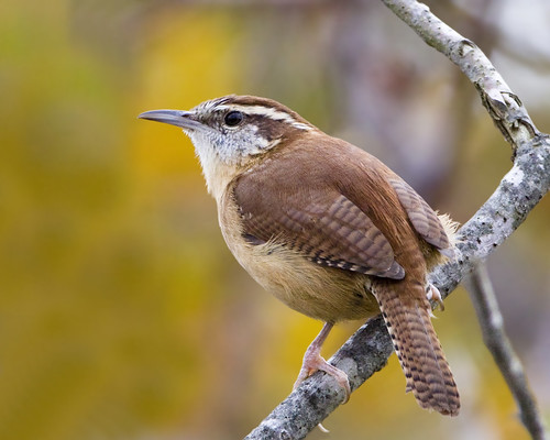 Carolina Wren | by Dah Professor