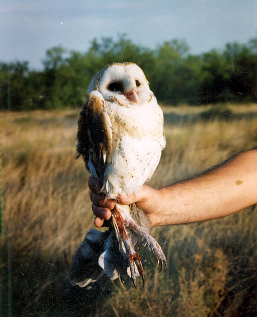 Barn Owl rescued from fence