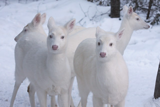 Albino Whitetail Deer The Wild Deer wandering here in Winter | by Lifeinthenorthwoods.com