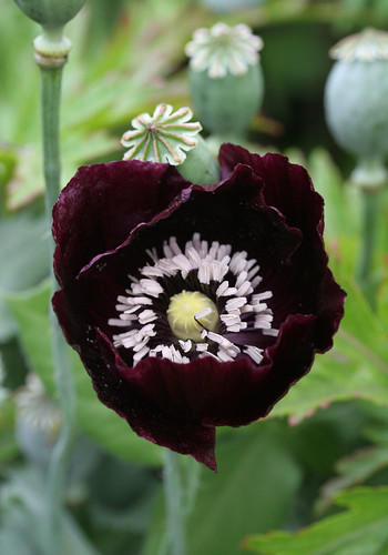 Papaver 'Single Black' | by anniesannuals