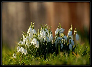 Spring snowdrops | by Levels Nature