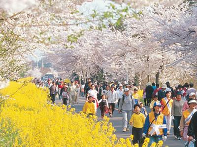 Jeju King Cherry Blossom Spring Festival Period Mar 26