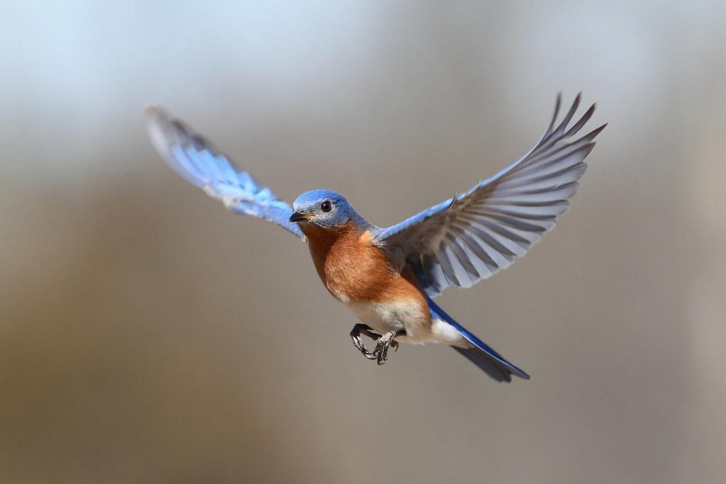 Eastern bluebird in flight - photo#6