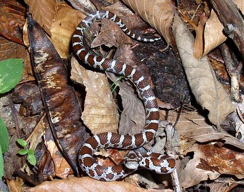 Eastern Milk Snake, Lampropletis t. triangulum | juvenile ...