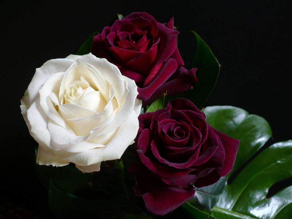 Rose Avalanche E Ortensie : Day and night giorno e notte avalanche white rose