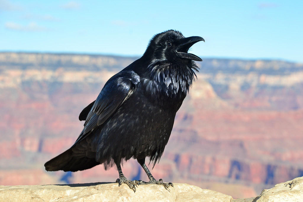 Grand Canyon Raven at Hopi Point 0081 | Ravens are one of ...