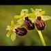 **Ophrys sphegodes**