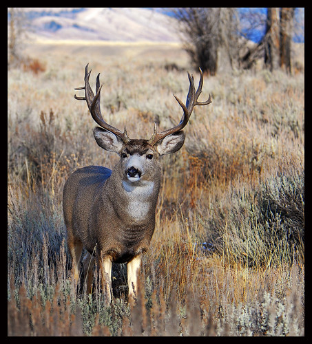 Trophy Mule Deer Buck, Wyoming - 0614bf | by teagden