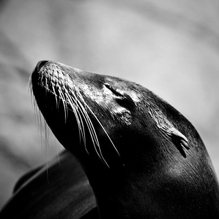 Sea lion taking a moment | by alan shapiro photography