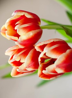 95/365 Colorful tulips | by Saj13