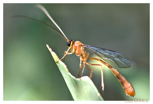 Red Stinger (Ichneumon Wasp) | When I was a young lad, we ... - photo#3